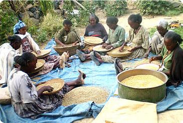 Подготовка семян вручную в Эфиопии